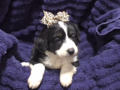 Mini Aussiedoodle female 1391