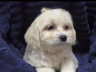 Toy Goldendoodle female 1379