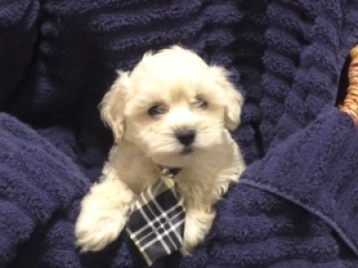 Cavapoo male 1225