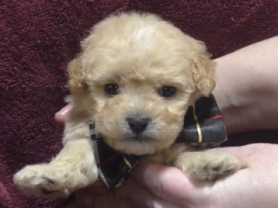 Cavapoo male 9751