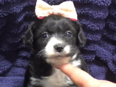 Mini Aussiedoodle female 1549