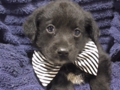 Mini Yaussiedoodle male 1703