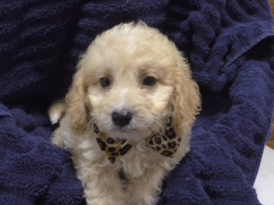 Toy Goldendoodle male 9781
