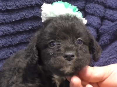 Mini Yaussiedoodle female 8868