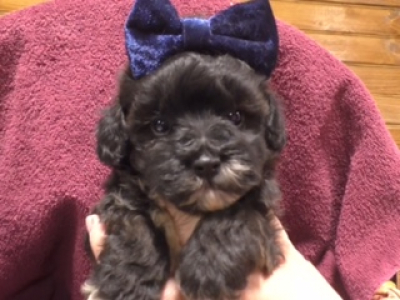 Shihpoo female 1374