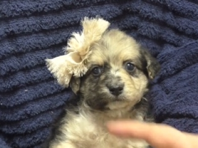 Mini Yaussiedoodle female 1530