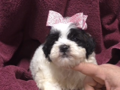 Shihpoo female 8906
